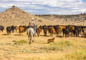 Paulina, Oregon - 8/6/2008:  A cowboy and his dog moving a herd of cattle to another pasture on a ranch near Paulina, Oregon